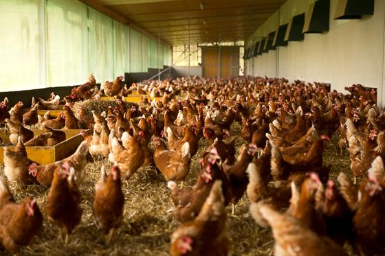 10.000 Hühner!